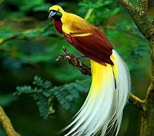white-tailed-bird-paradise